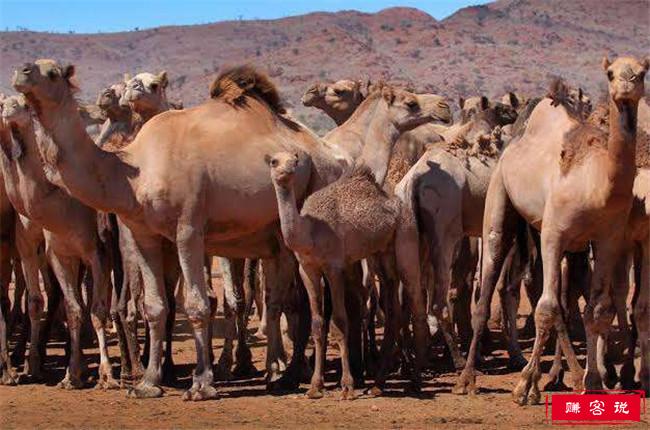 澳大利亚射杀骆驼 喝水喝多了竟也成了错