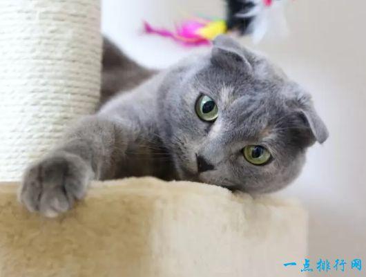 世界上体重最小的十个猫品种 新加坡猫仅有4磅重