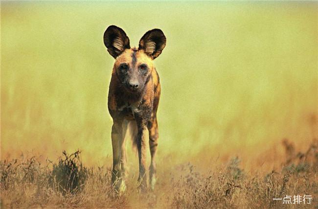 跑得快的动物排行榜 猎豹每小时能达130千米