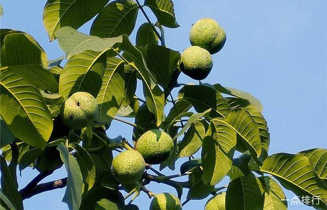 十大经济价值高的果树 枣树仅排第四
