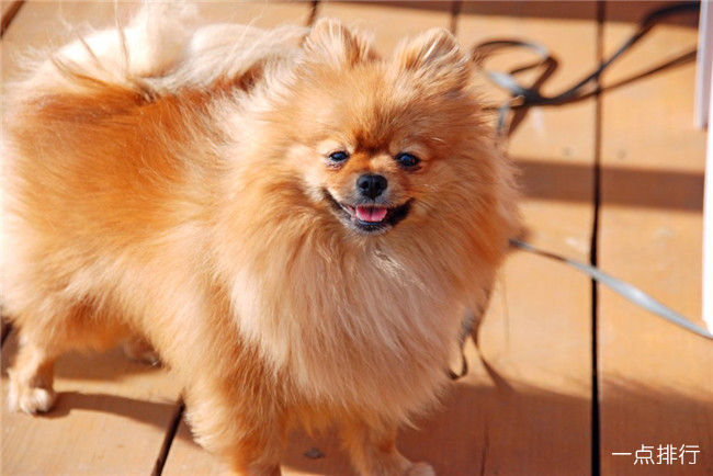 世界十大最昂贵的狗 藏獒仅排第四