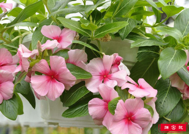 花期最长的花 长春花的花期长达一整年