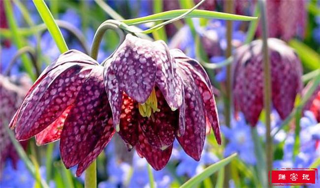 世界上最独特的花排名 龙花凋零后形似人的头骨