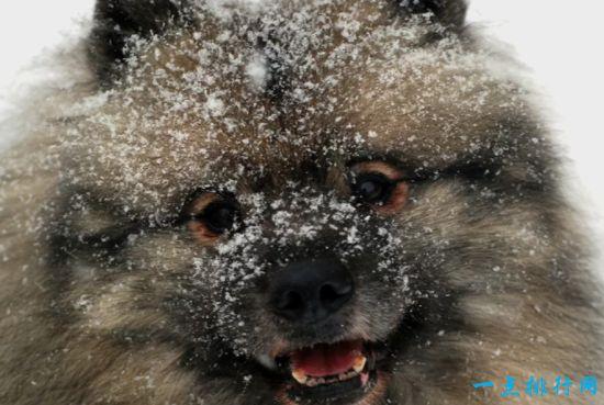 最不怕冷狗狗排名 藏獒排第二