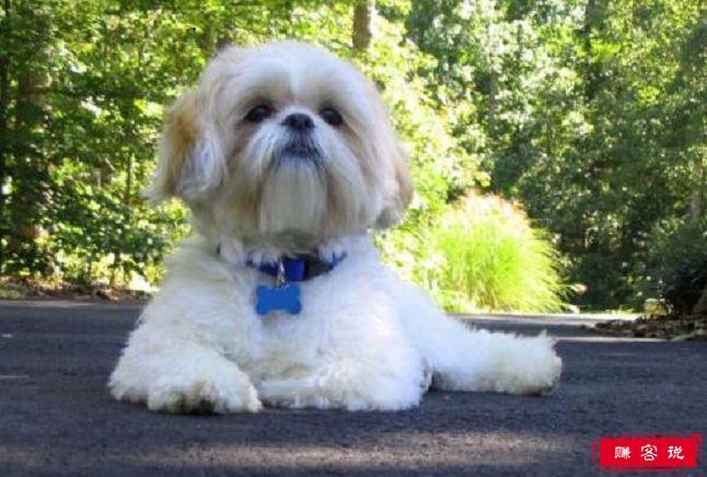 世界犬种最低智商排行 个个都是拆家小能手