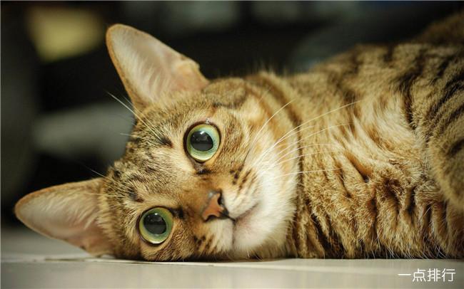 最适合家养的猫排名 十大适合家养的猫