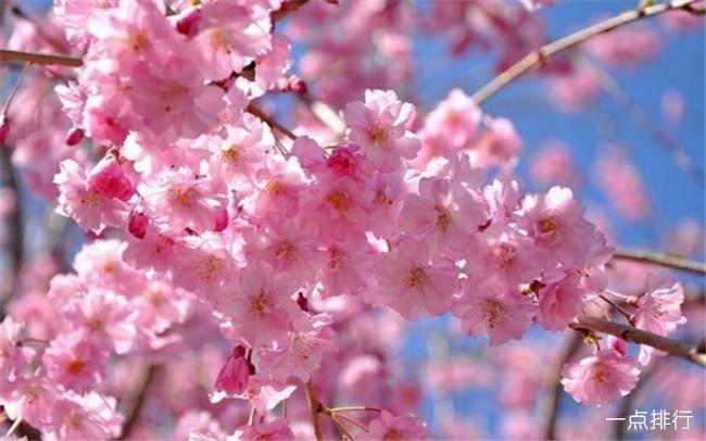 世界上最美丽的10种花 日本樱花只能排倒数第一
