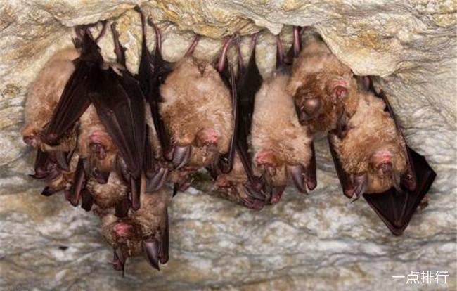 蝙蝠-倒立紧缩