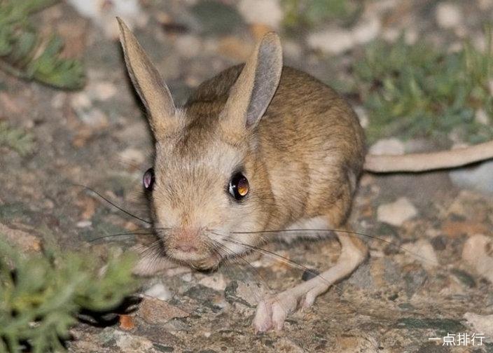 生活在撒哈拉沙漠的十种动物 圣甲虫依靠动物粪便生存