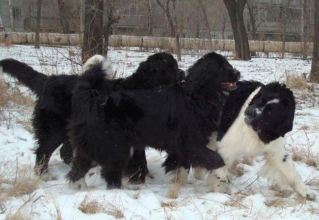 十大已经灭绝的狗品种 你可能都没听说过这些狗!