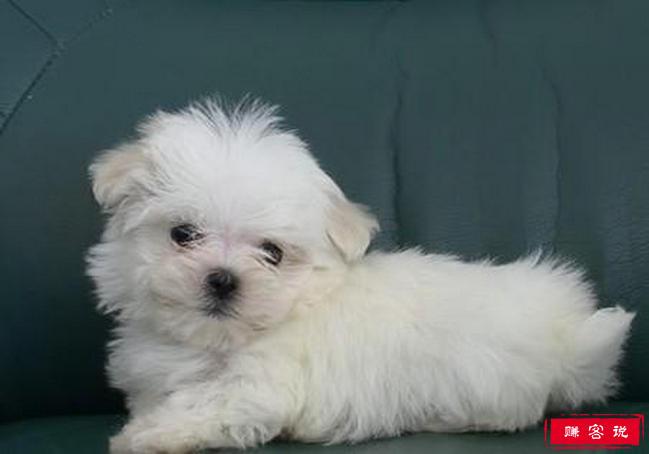 十种适合家养的小型犬排名 博美只能排第九