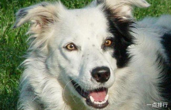 世上最聪明狗狗去世 生前能听懂一千多个单词