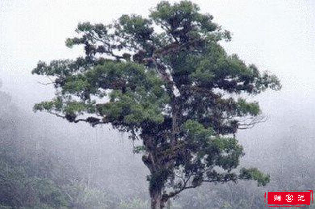 世界上最长寿的树排名 世界上最长寿的树都有哪些