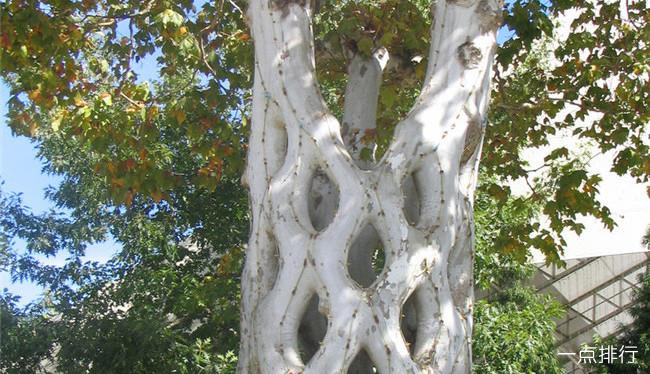 世界上最奇特的树木 加那利群岛的龙树成伞状形状