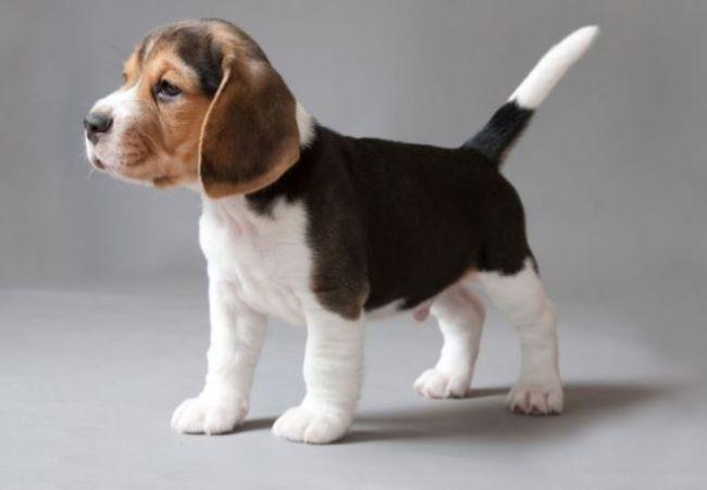 印度十大最受欢迎的狗品种 德国牧羊犬排第一
