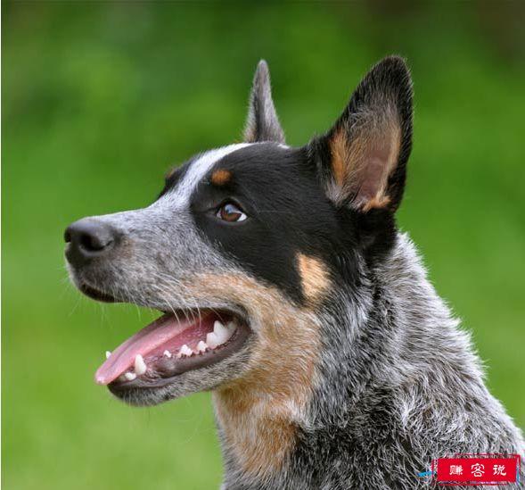 狗狗智商排名 十种世界上智商最高的狗