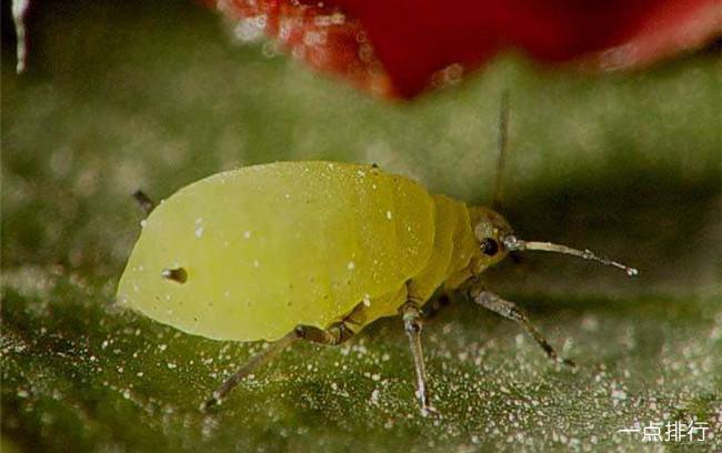 世界上繁殖最快的昆虫 蚜虫4-5天就能繁殖一代