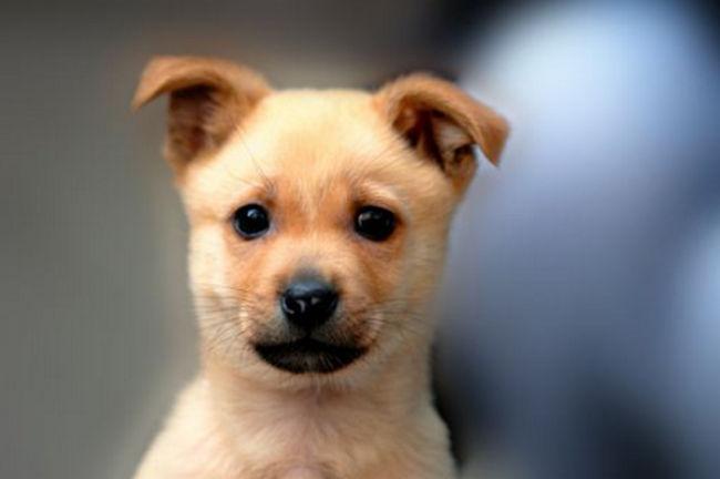 世界上饭量最小的狗 可爱的吉娃娃上榜