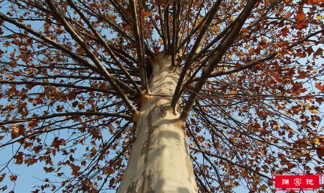中国神话十大神树 扶桑树连接着人冥神三界大门