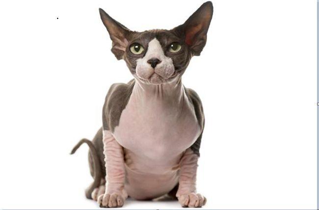 世界上最具个性的猫 这种主子你敢撸吗?