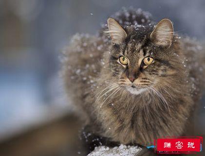 世界上最大的猫 挪威森林猫体重14千克