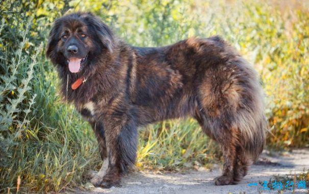 十大最凶猛的狗 杜宾犬排第一