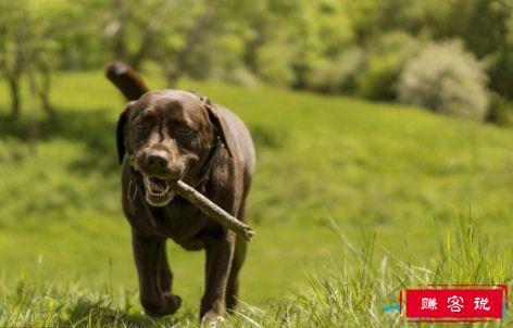 十大家庭犬排名 适合家养的狗