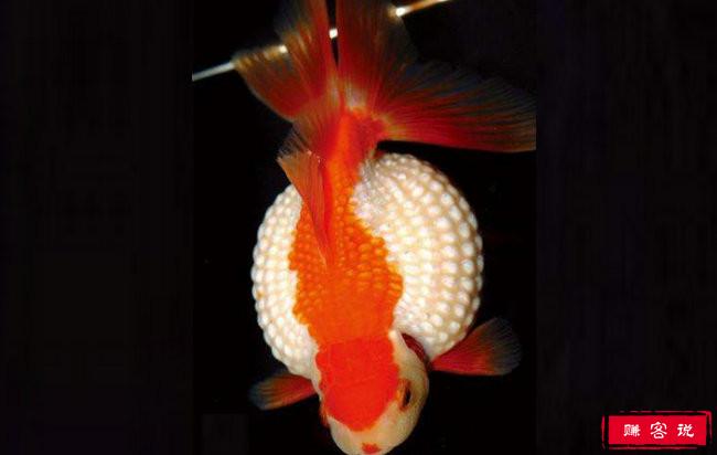 十大最好养的金鱼排名 金鱼品种大全介绍
