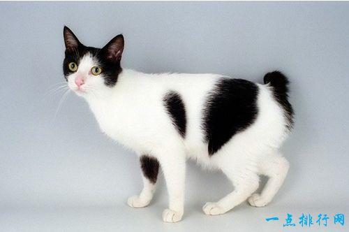 世界十大外表奇特的猫 日本短尾猫的尾巴和兔子一样短!