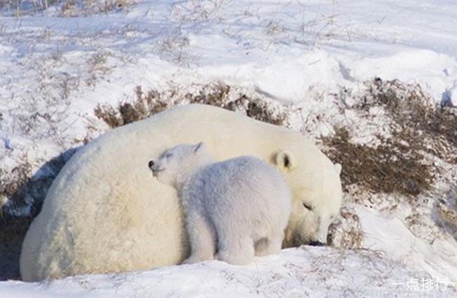 熊-疯狂进食