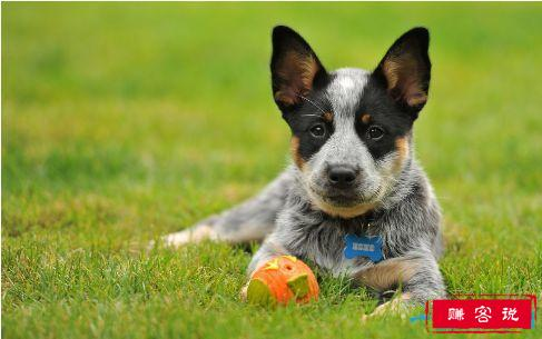 最聪明的狗排名 狗狗的智商排名