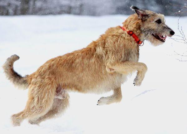 世界十大名犬排行榜 萨摩耶犬售价高达1.1万美元!