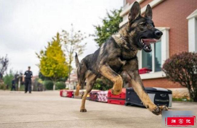 """国内首只警用克隆犬入警 供体犬乃""""一级功勋犬"""""""