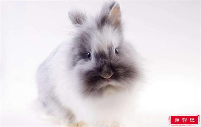 最受欢迎的兔子品种排名 公主兔气质最为高雅